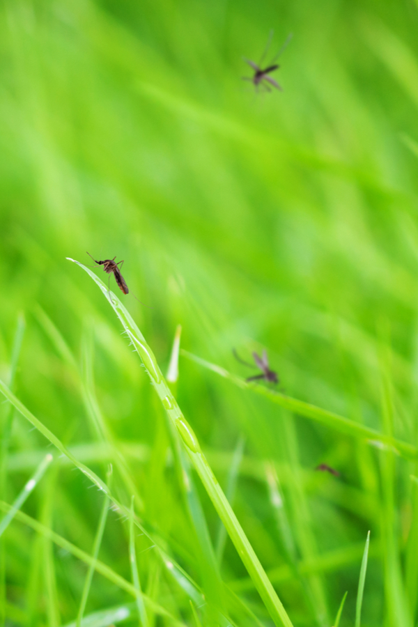 mosquitoes sitting on tall grass blades. Cutting the grass short is one natural way to reduce mosquitoes.