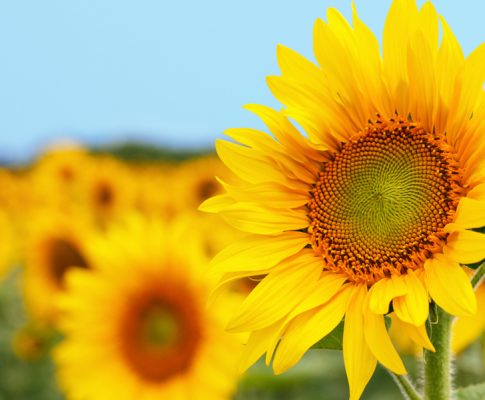 How To Grow Sunflowers – The Beautiful and Iconic Summertime Flower!