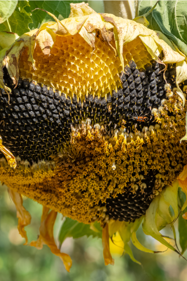 A dying sunflower head that is ready for the seeds to be harvested.