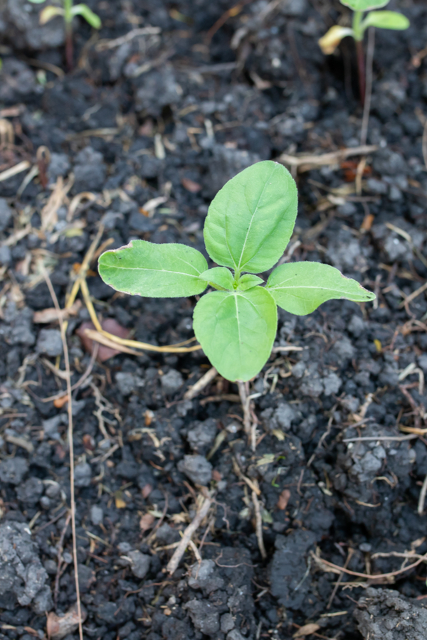 A sunflower seedling that has just started growing. Knowing how to grow and care for sunflowers will give this plant a great start!