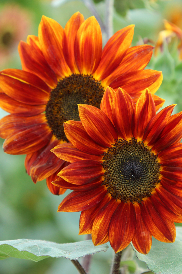 Two bright red/orange sunflowers show the different colors of sunflower varieties.