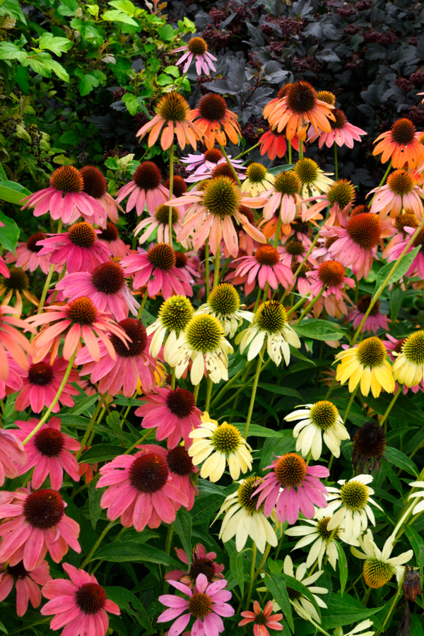 Coneflowers in a wide range of colors.