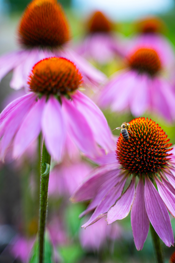Close up on a coneflower with a bee on top.