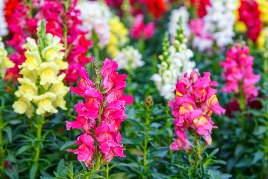 Snapdragons in colors of pink, white, and yellow