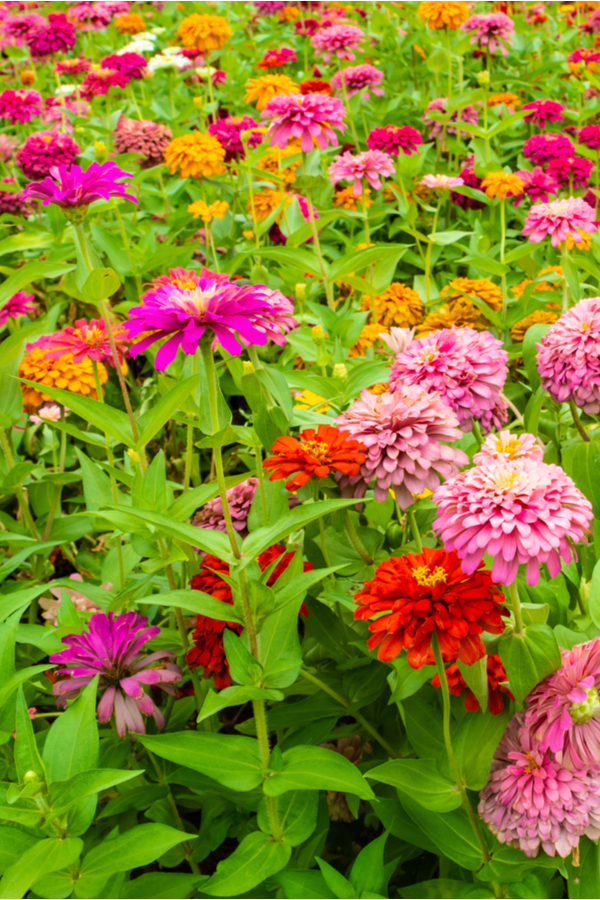 A field of beautiful and colorful zinnias growing.