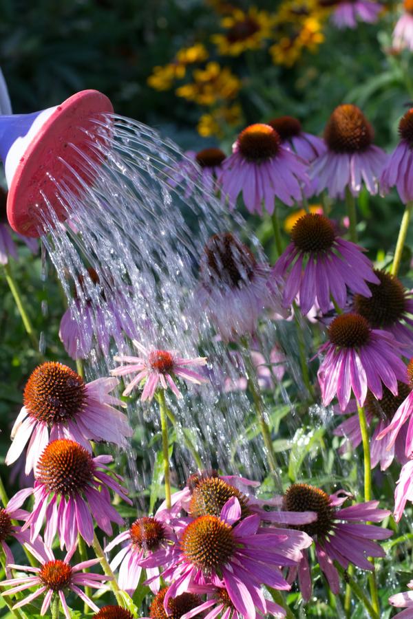 coneflowers getting watered.