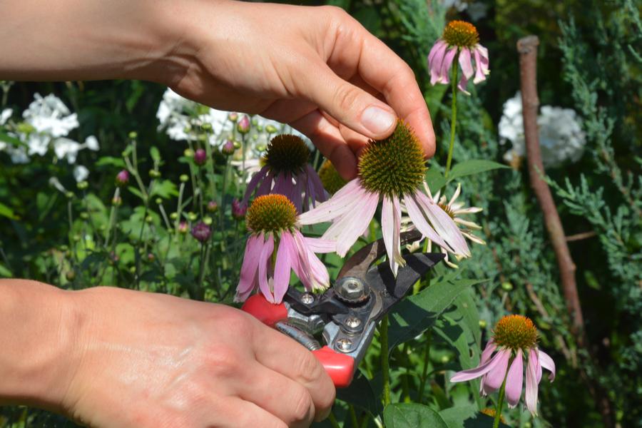how to deadhead annuals and perennials