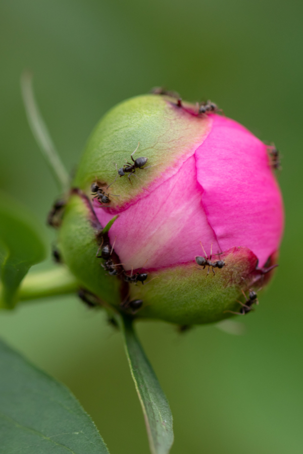 Ants crawling all over a peony bud. They don't actually harm the peony bushes and they can still grow great.