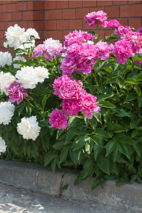 Two different colors of peony bushes growing along a building. When you know how to grow peonies, they can become well established like these!