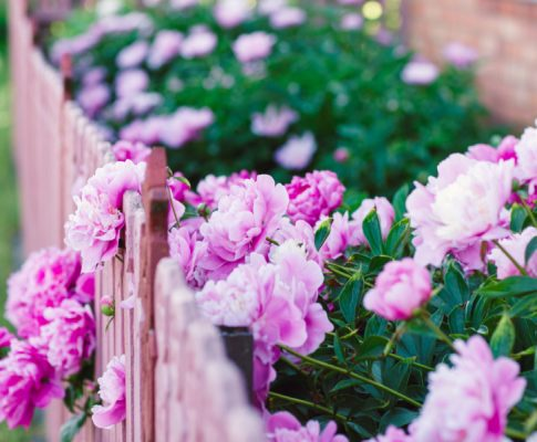 How To Grow Peonies – Classic, Long-Living, Low-Maintenance Perennials