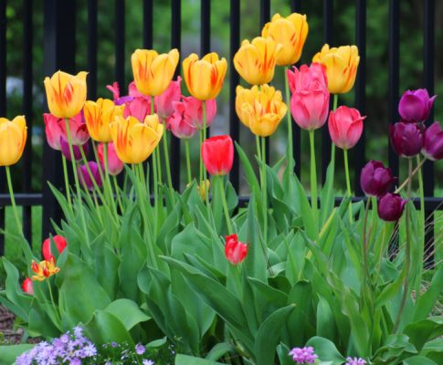 How To Grow Tulips – Plant In The Fall For Stunning Spring Color!