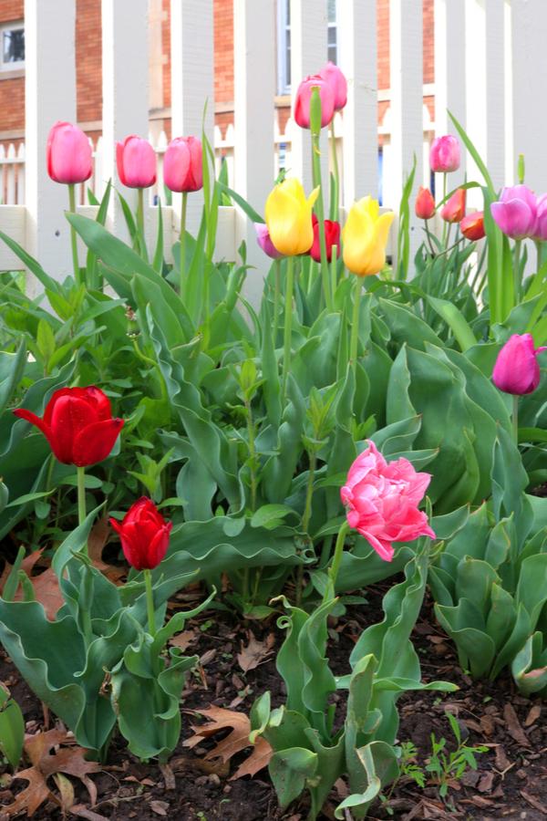grow tulips