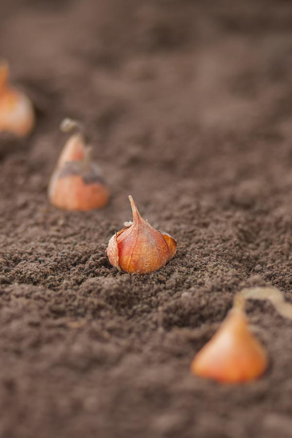 tulip bulbs ready to be covered in soil.