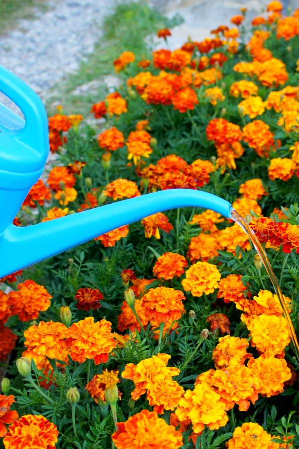 watering a display of flowers