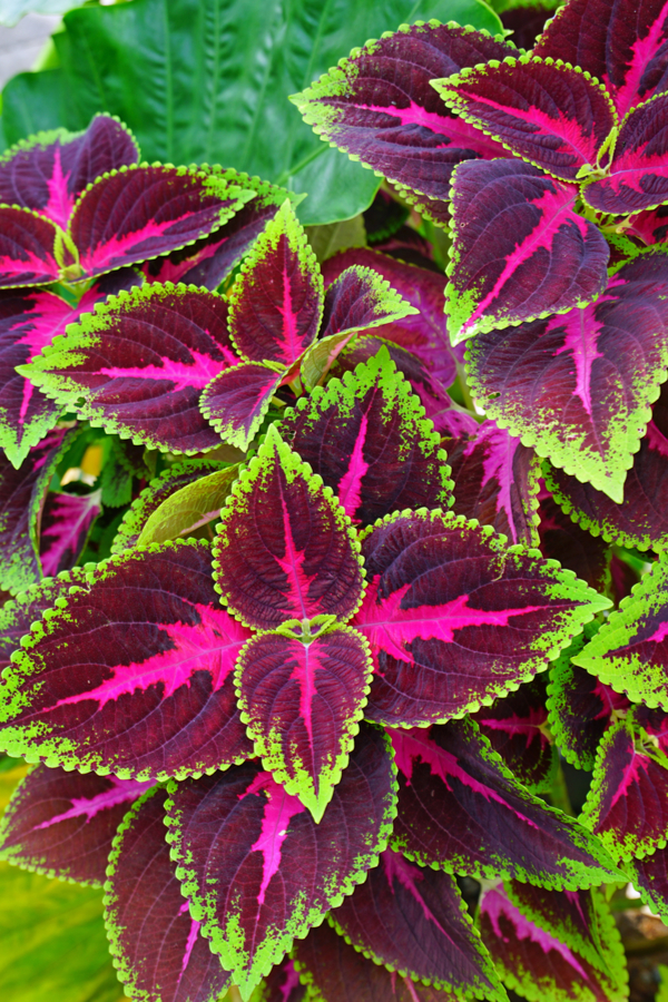 A beautiful green, maroon, and pink coleus plant.