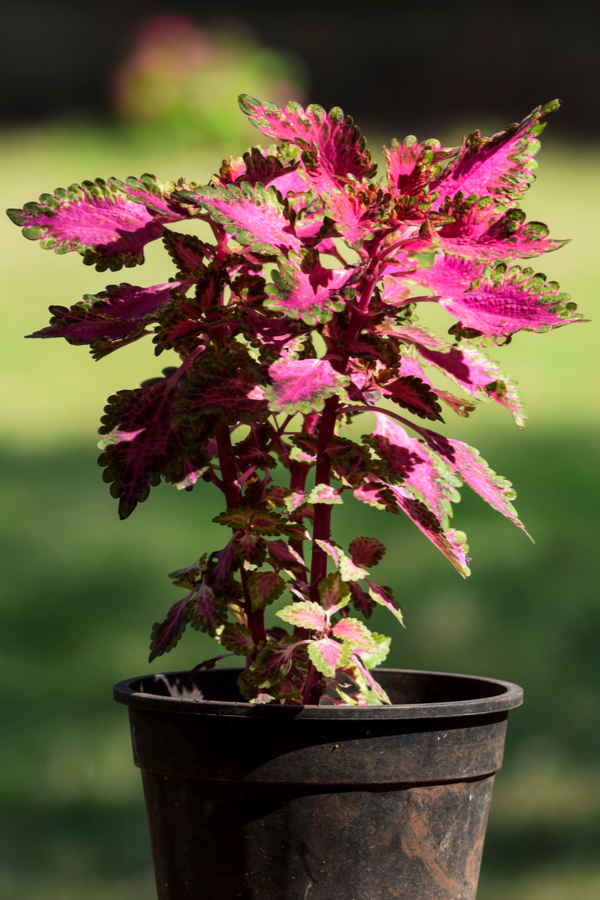 This coleus didn't get pinched off and is turning out tall and leggy.
