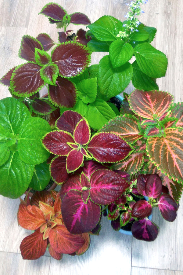 Wide variety of coleus colors and patterns are available.