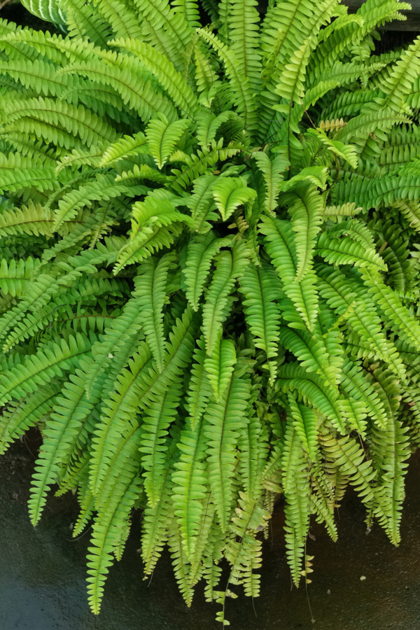 A huge fern that could benefit from dividing this Fall.