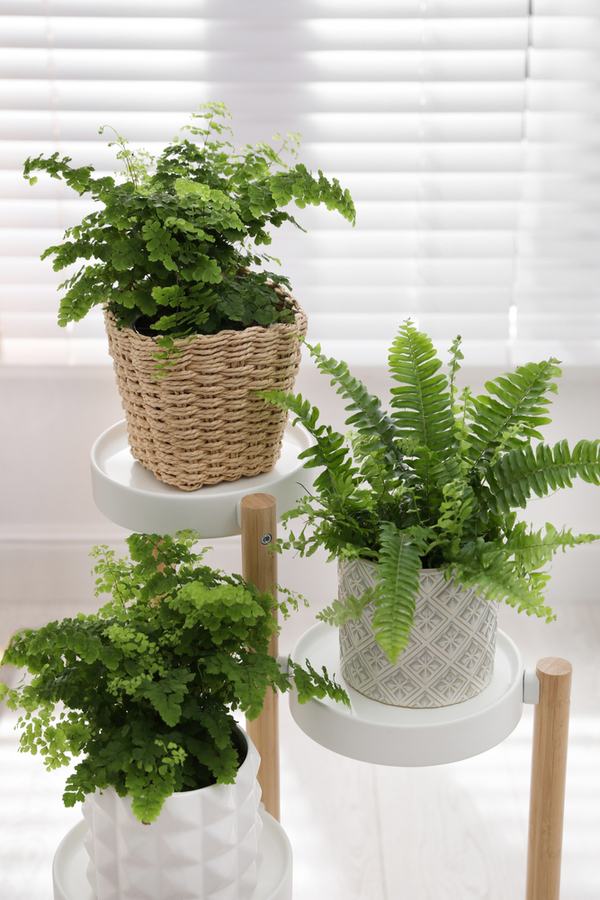 Ferns that have benefited from dividing in the early Fall.