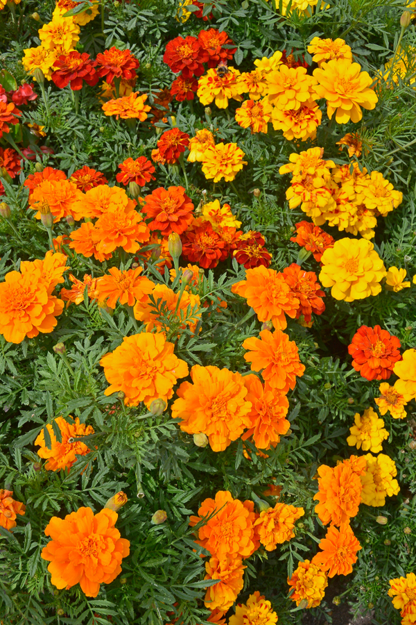 Blooming annuals in orange, yellow, and red