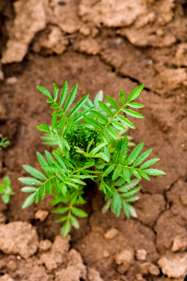 marigolds are easy to grow in about any soil type.