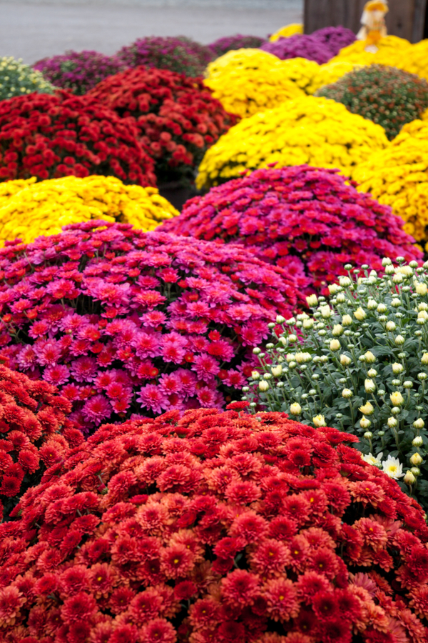 How To Keep Mums Blooming