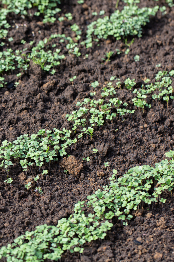 mustard seeds growing in rows with bare soil in-between. grow a fall cover crop