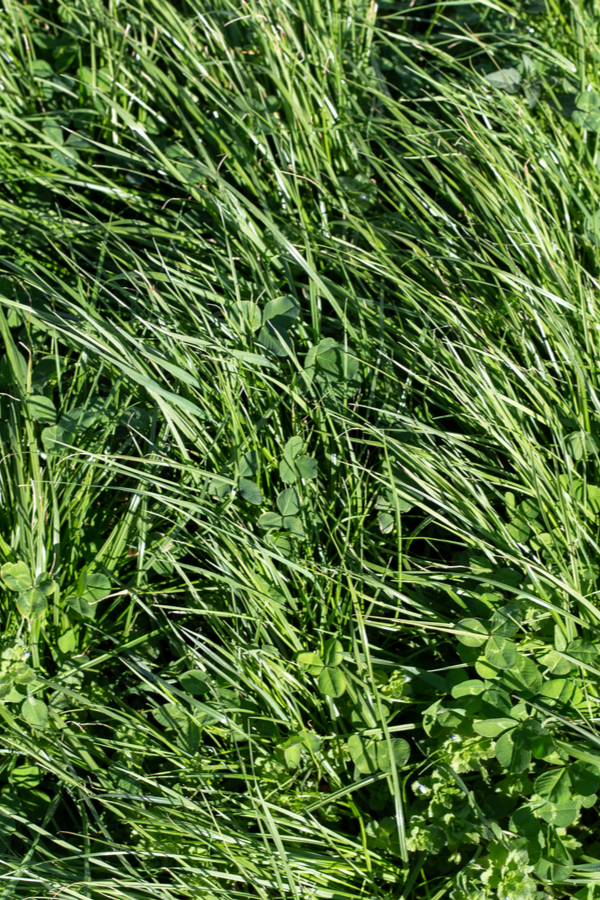 An image of clover and rye growing in the garden.