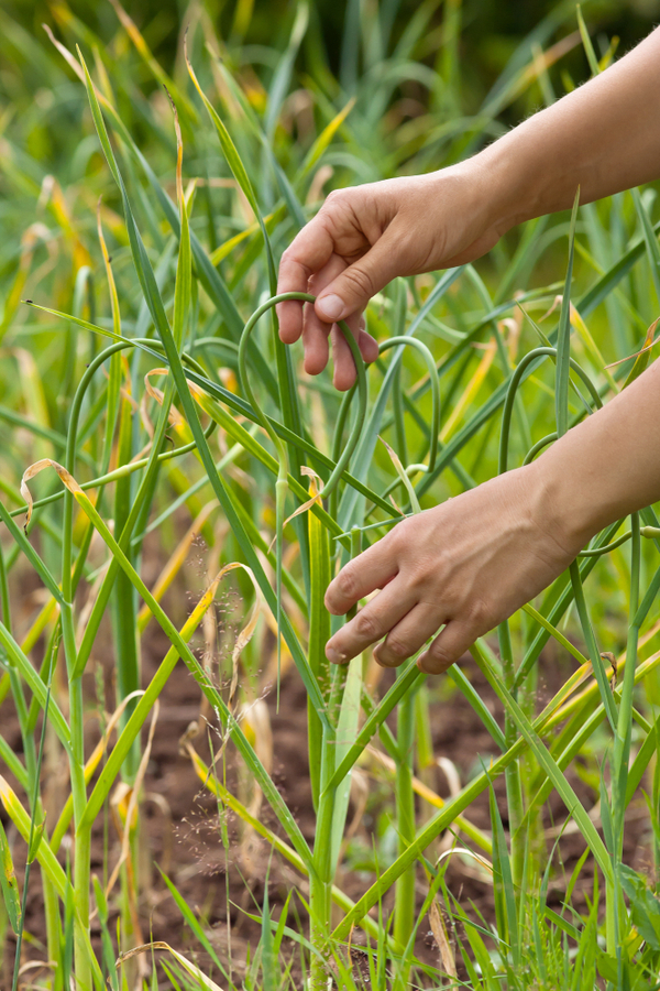 A bonus of being able to plant your hardneck garlic in the fall is that you can enjoy the scapes! A person holding onto a garlic scape that is ready to be harvested.