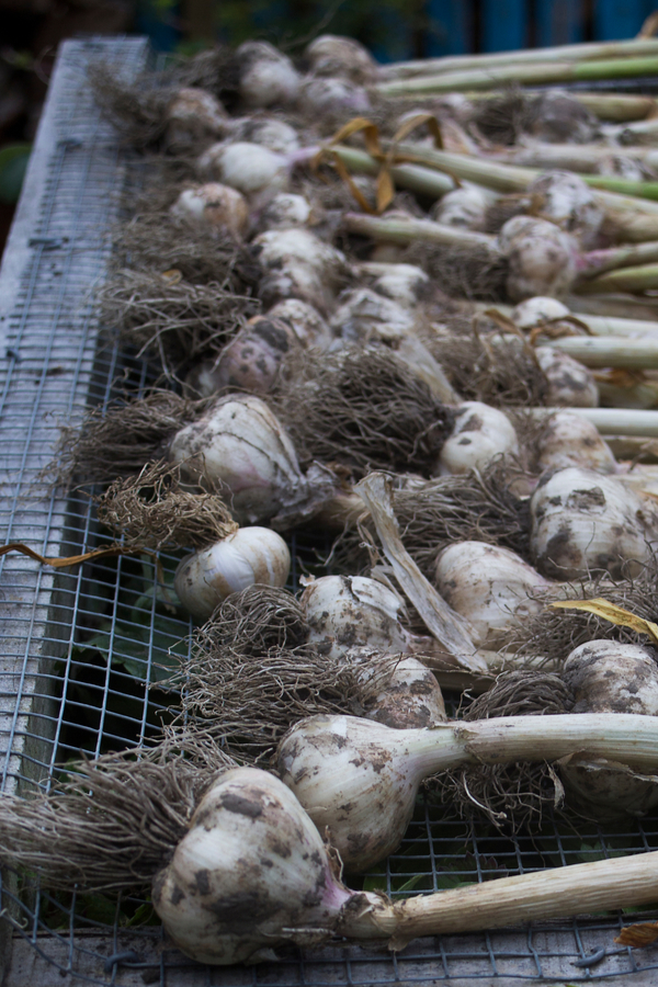 A homemade rack that is helping to cure hardneck garlic.