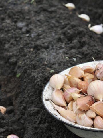 rows of garlic planted