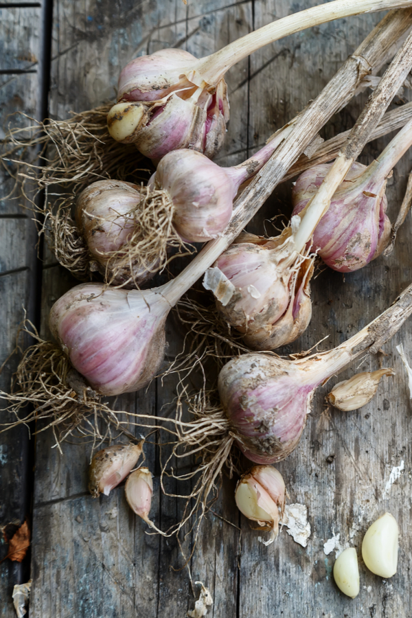 Recently harvested garlic drying with a few garlic cloves broken apart.