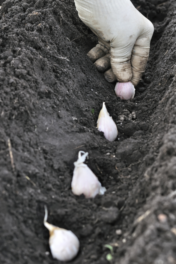 Plant your garlic in the fall with the pointy end up.