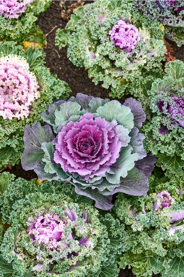 Comparing ornamental cabbage and kale together.