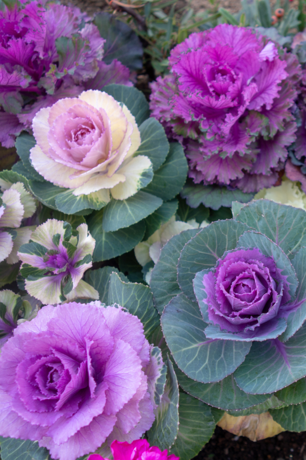 varieties of colors of ornamental cabbage and kale