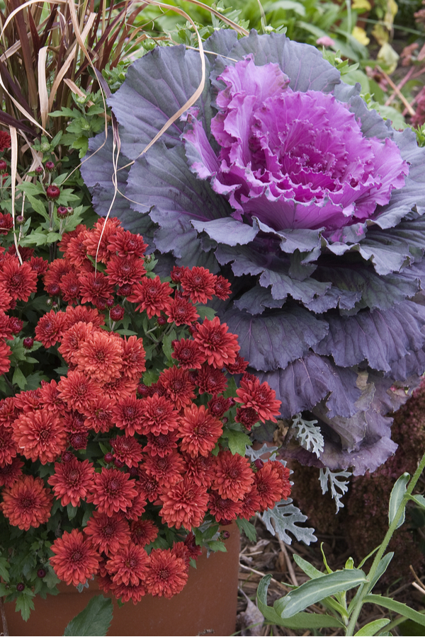 Ornamental cabbage and kale work great when grown with any other cool-weather plants.