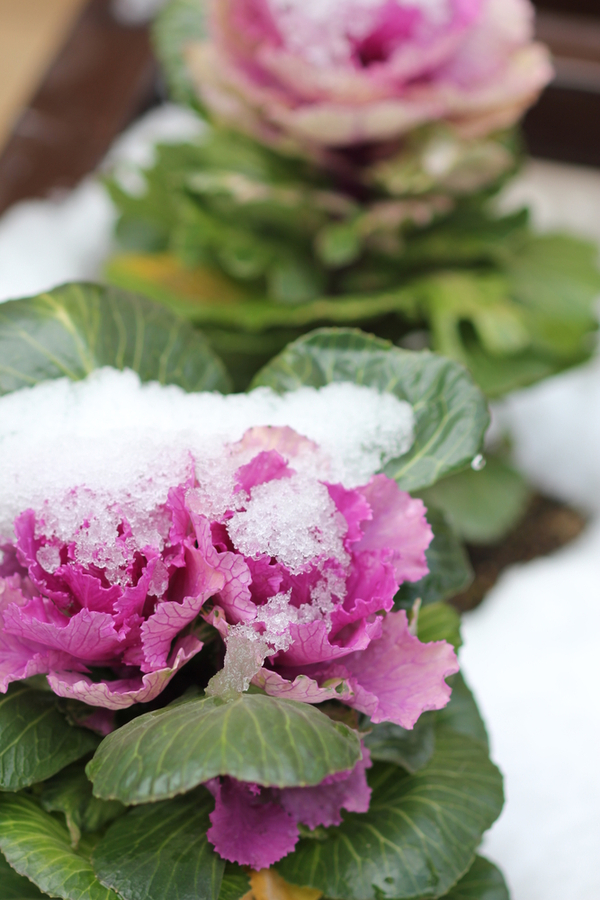 Ornamental cabbage covered with a light snow.