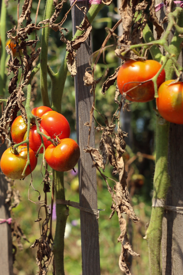 Garden tomato crops that are starting to die off at the end of summer.